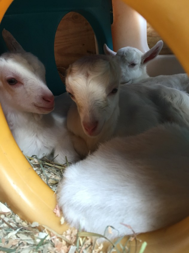 Kodiak, Sundance & Yuki; Born & Rescued, March 2015