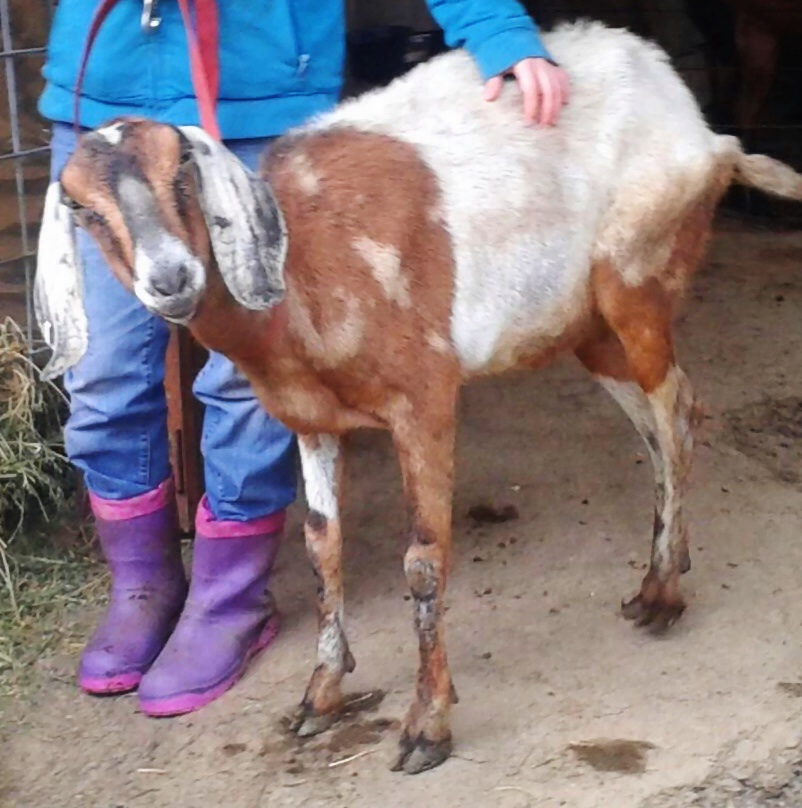 Upon rescue from the slaughterhouse she was extremely emaciated