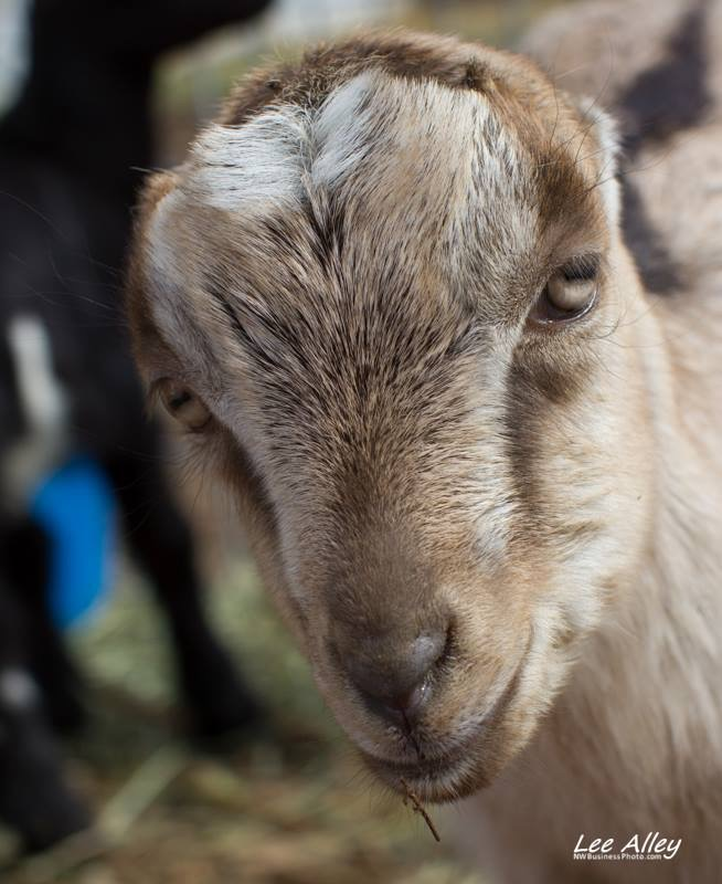 Lamanchas are born with uniquely small ears, their distinguishing feature.