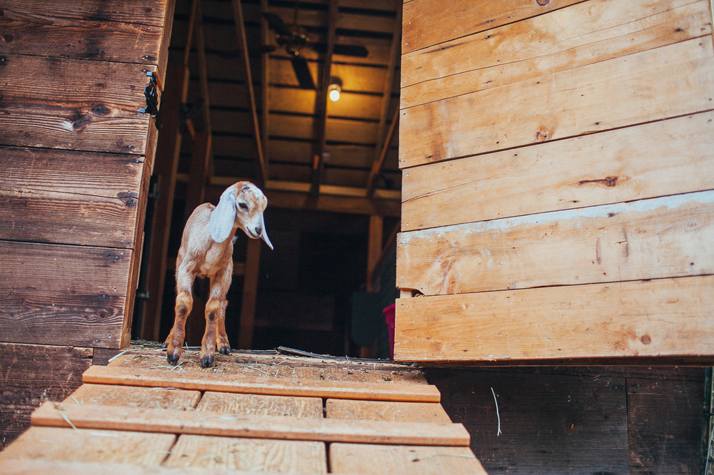 We are offering a Goat Care Class at The Grange in Issaquah!  Learn More