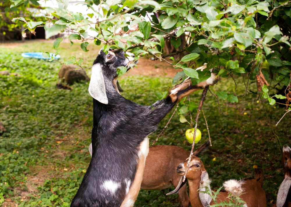 Contrary to popular belief, goats are actually very picky eaters.  Learn More