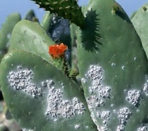 Cochineal wax secretions on cactus host