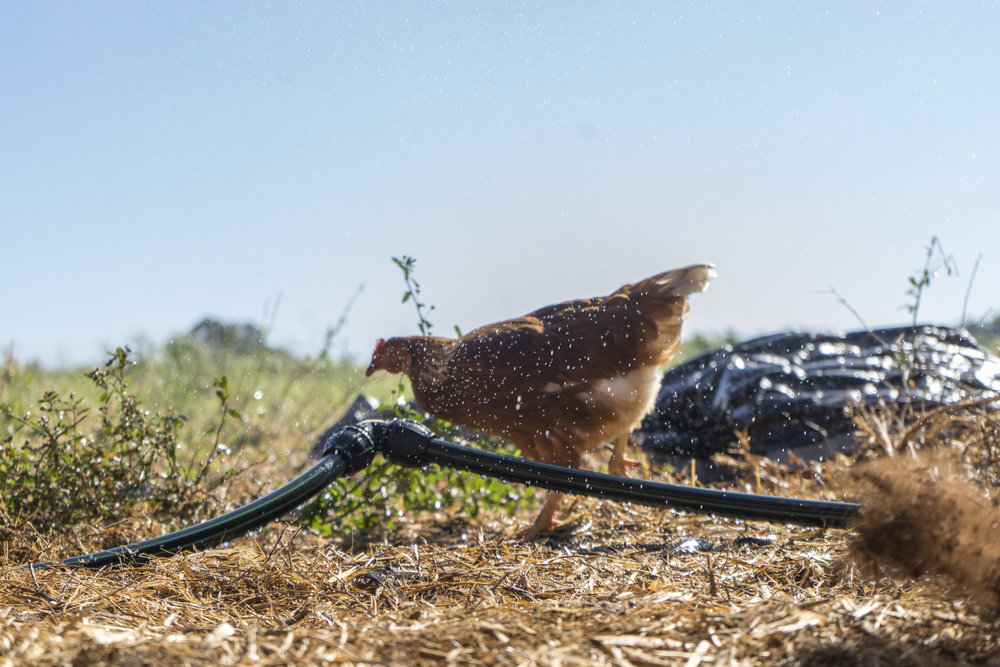 """""""Yippeeeee"""" -Henny Penny cooling off under the new Chicken Sprinkler."""