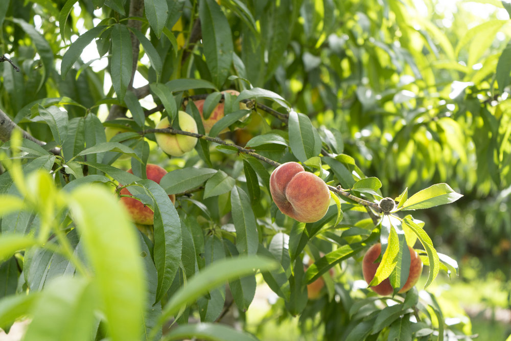 Some Angelina Peaches