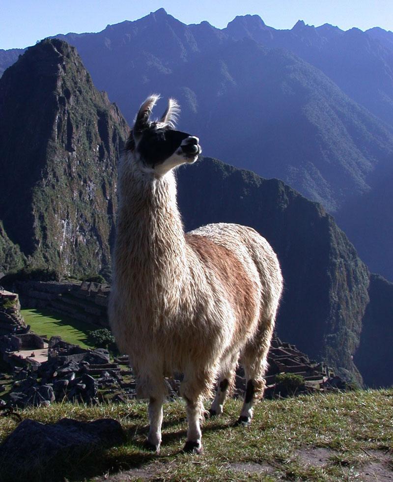 Llama-Machu-Picchu.jpg