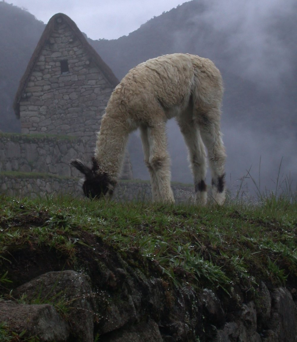 Baby llama at Machu Picchu, Peru