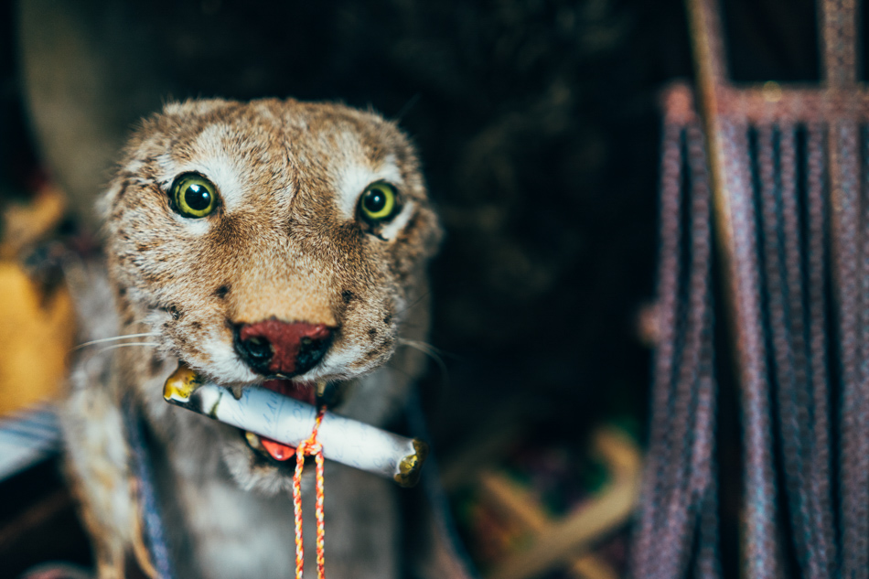 Taxidermy animal lynx
