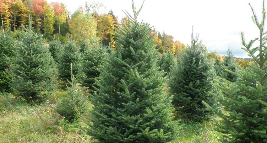 Growing Christmas Trees in Vermont — Vermont Land Broker