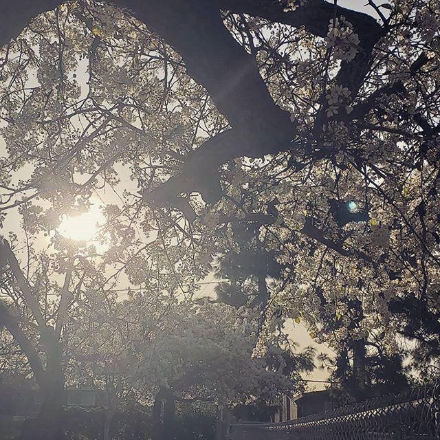Beautiful morning  #tuesday #spring #blossom #onthewaytoschool #floral #light #beauty #energy