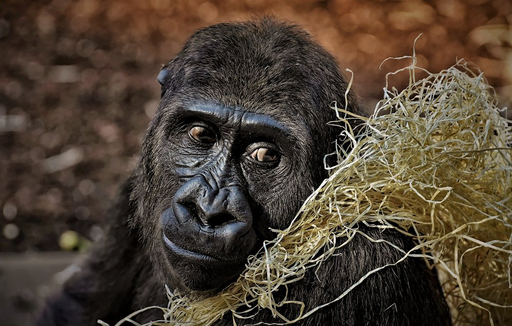 gorilla-3586621_1920.jpg