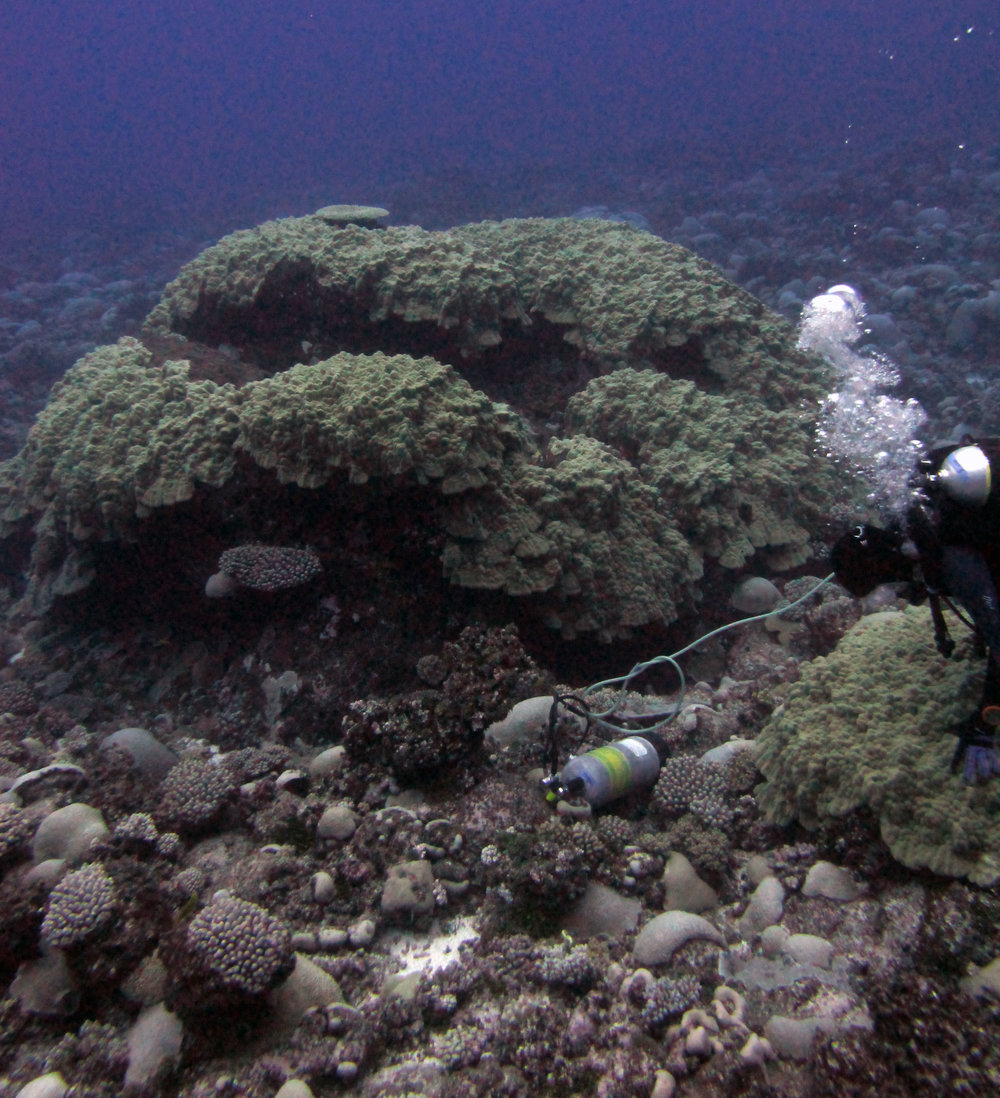 massive porites at AUTB13.jpg