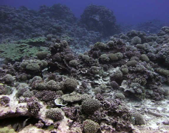 another pocilloporid reef.jpg