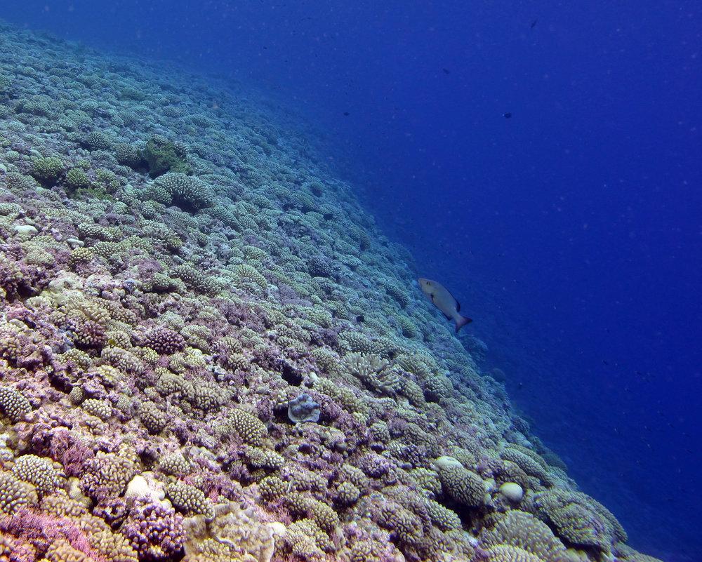 coral crest.jpg