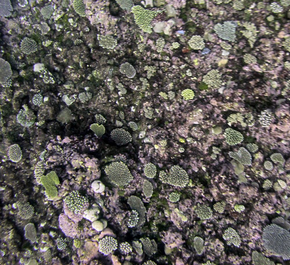 Austral Islands reef.jpg