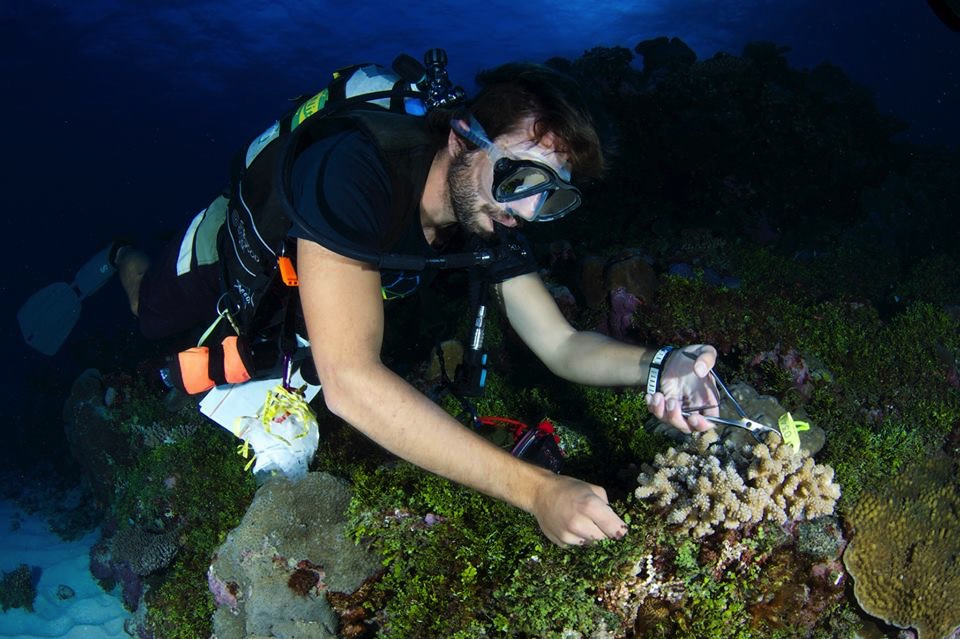 Sampling a  Pocillopora verrucosa  colony in Palau