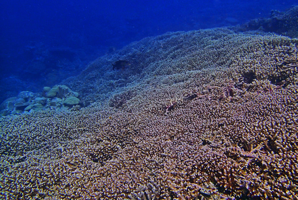 100 acropora cover Palau.jpg