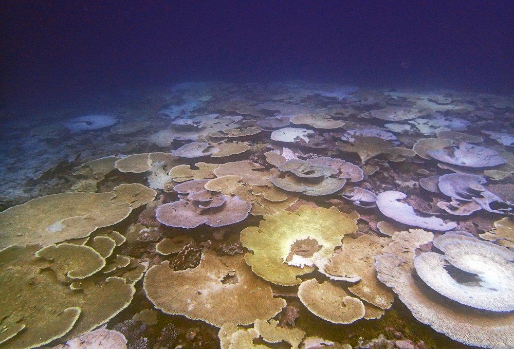 bleaching reef in Chagos Indian ocean.jpg