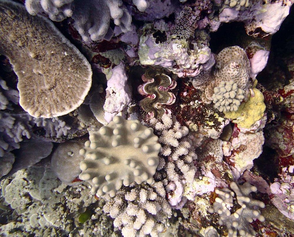 giant clam.JPG