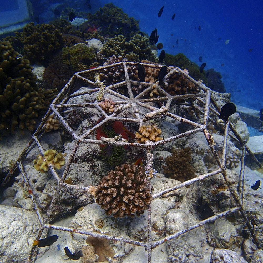 coral culture at Baa.jpg