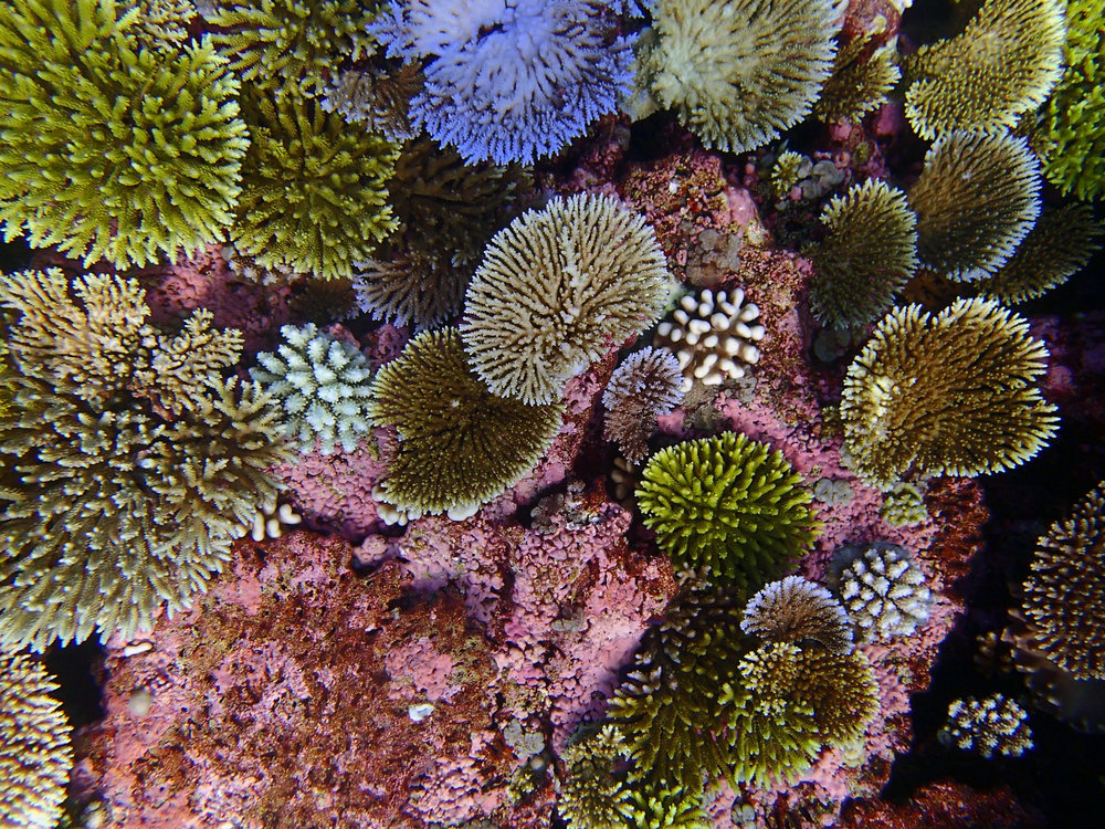 coralmania.jpg