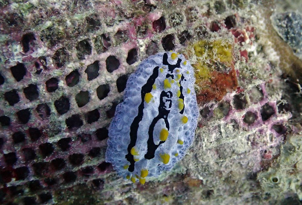 nudibranch in Philippines.jpg
