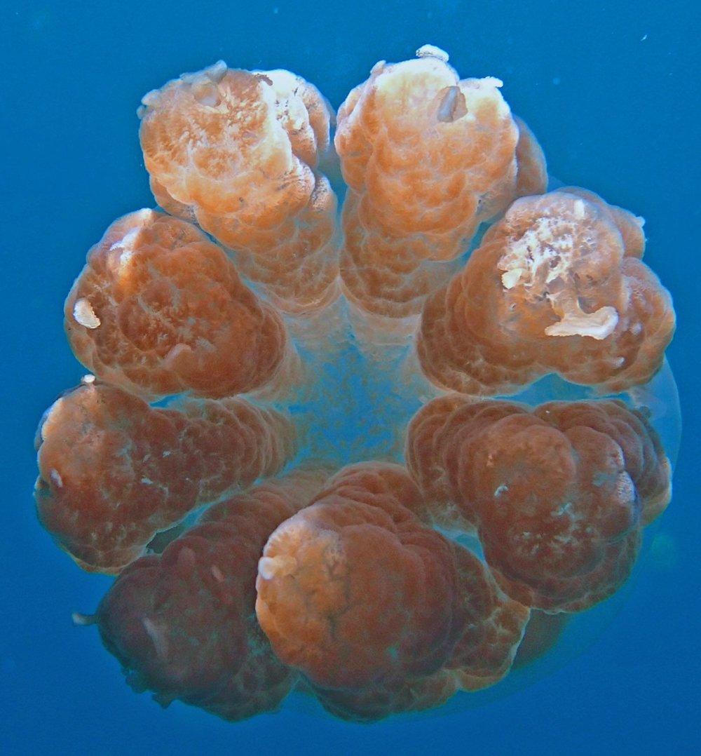 jellyfish Palau.jpg
