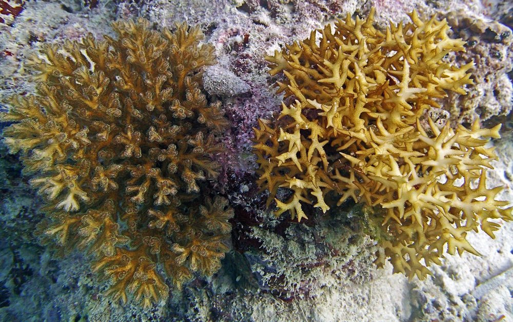 model ecophys corals.jpg