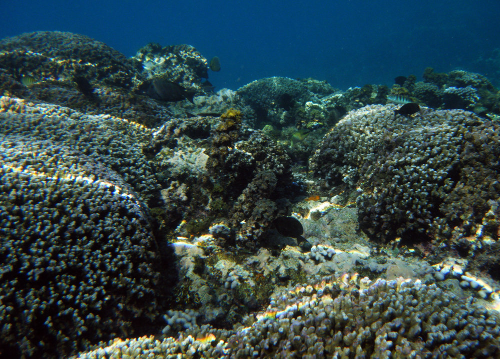Porites reef.jpg