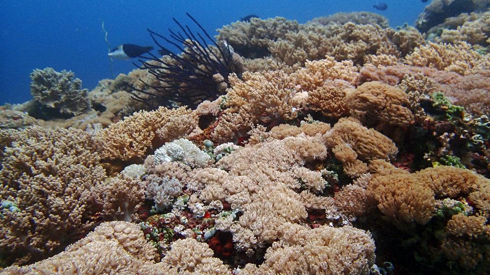 Ligpo's soft corals.jpg