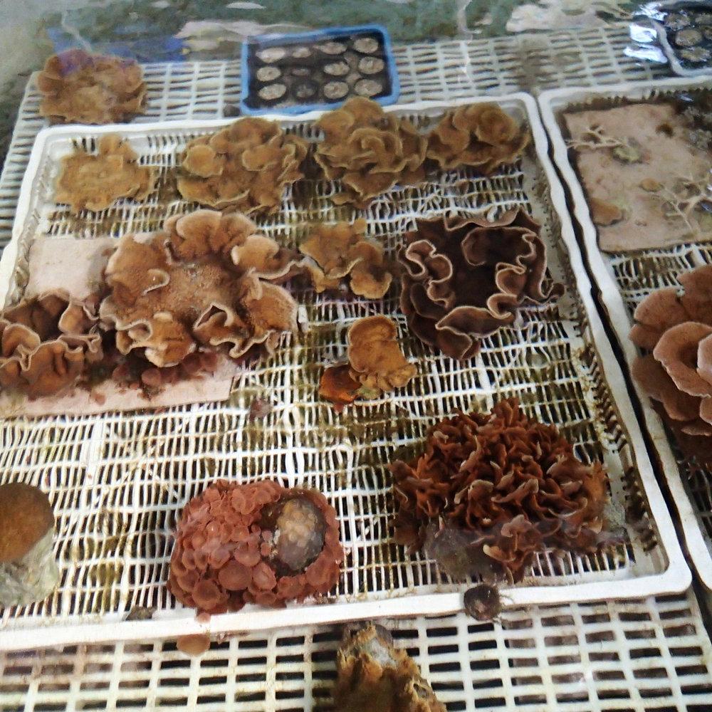 corals in mesocosmjpg