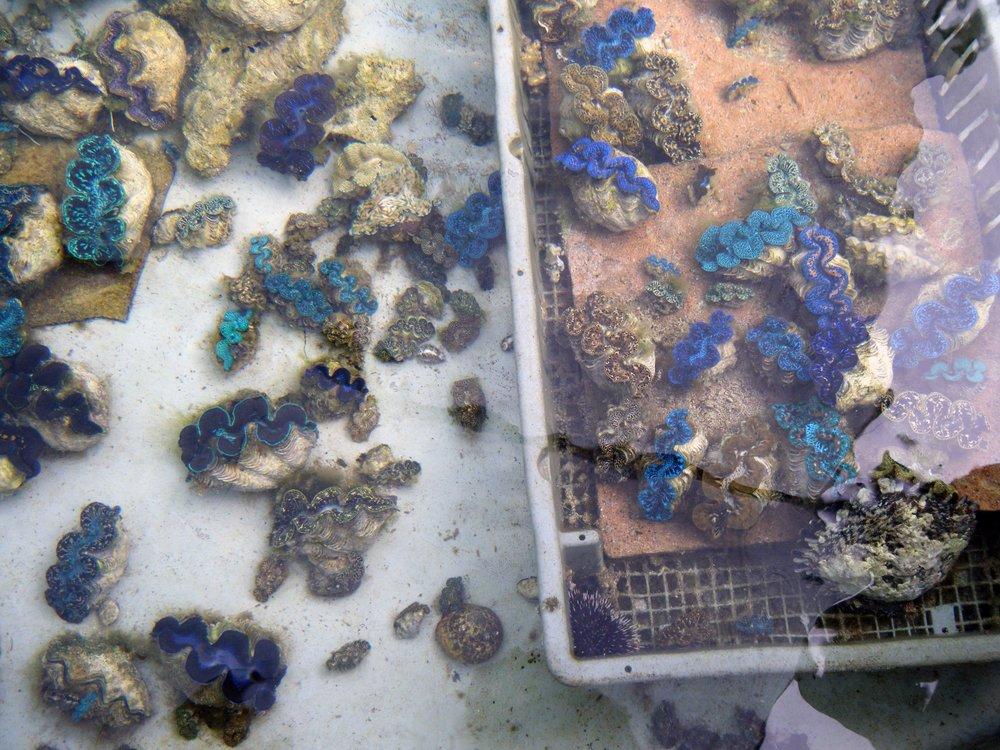 giant clam culture facility.jpg