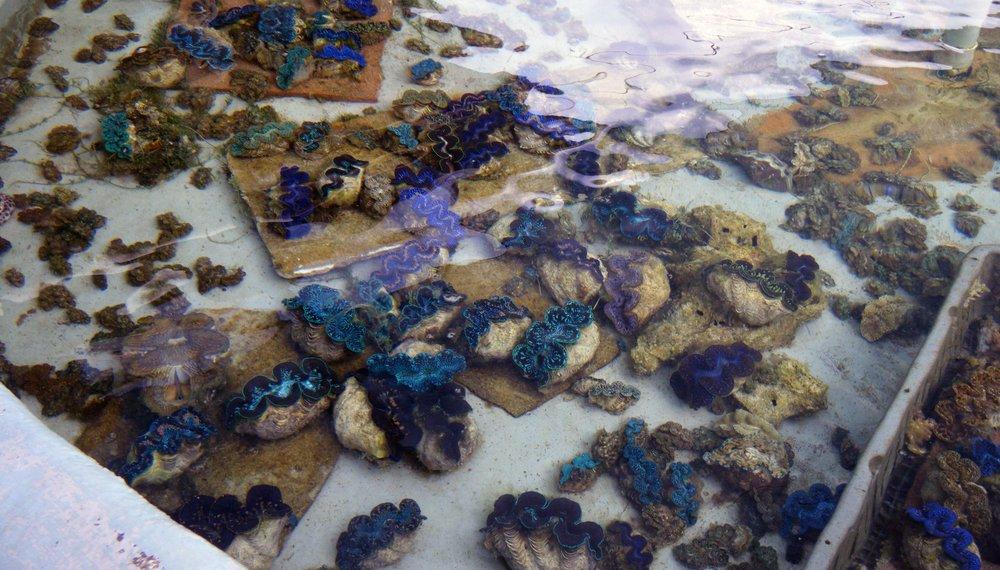 giant clam farm.jpg