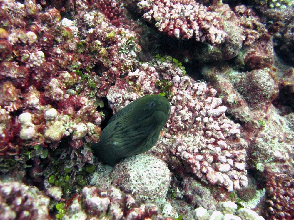 green moray.jpg
