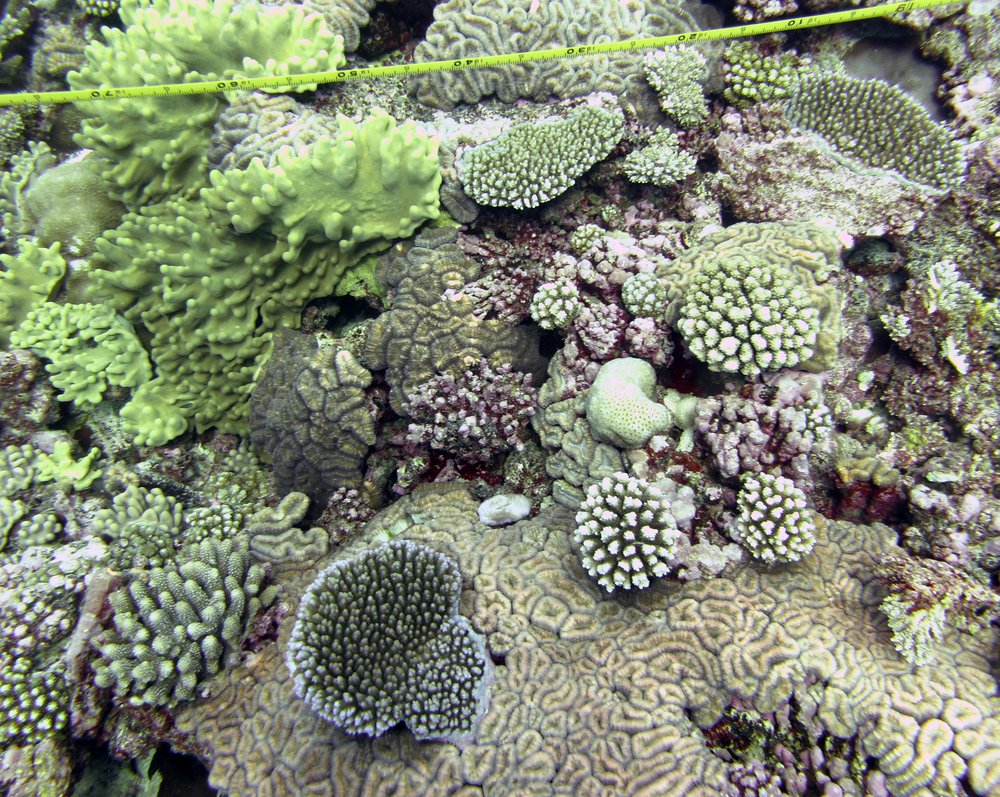 corals on transect.jpg
