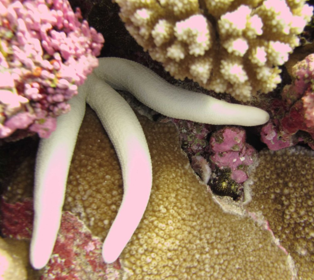 albino starfish.jpg