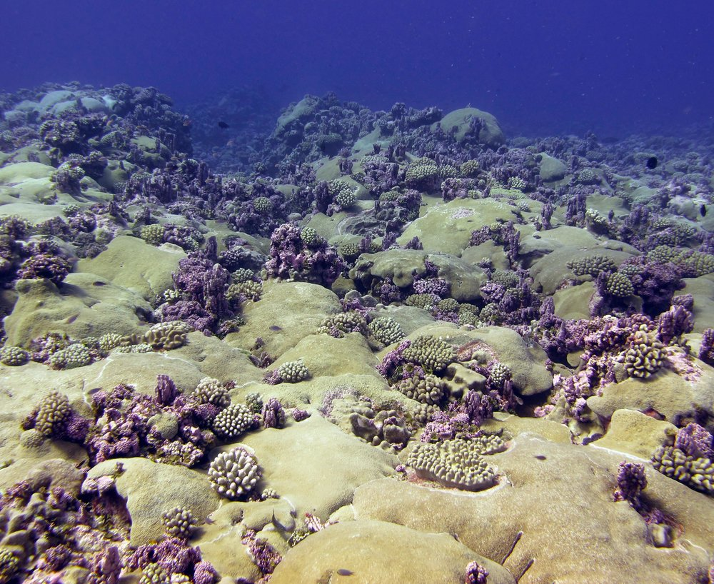 Astreopora reef.jpg