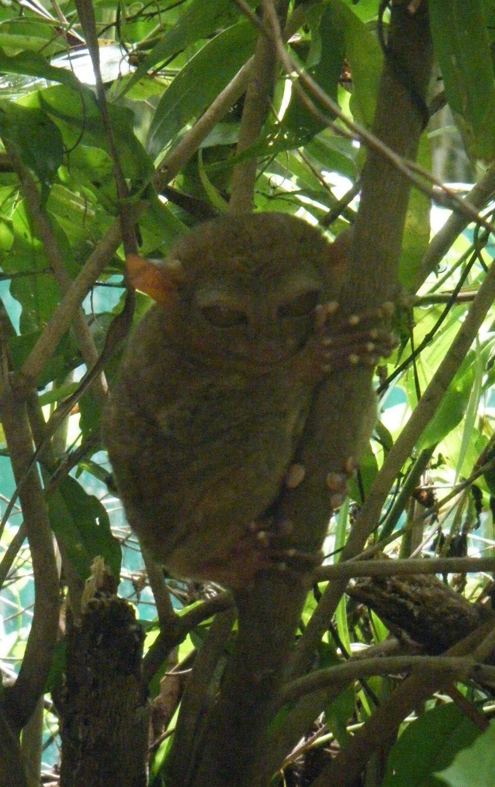 annoyed tarsier.jpg