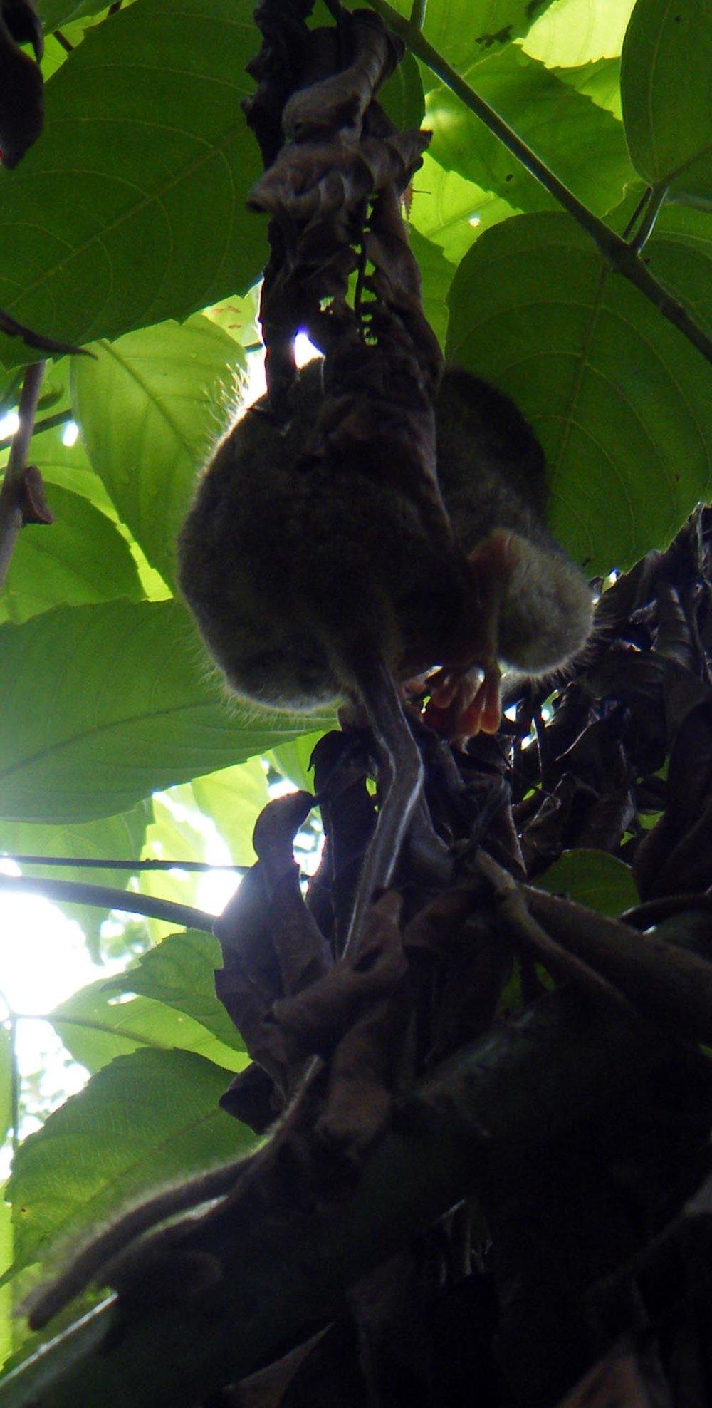 climbing tarsier.jpg