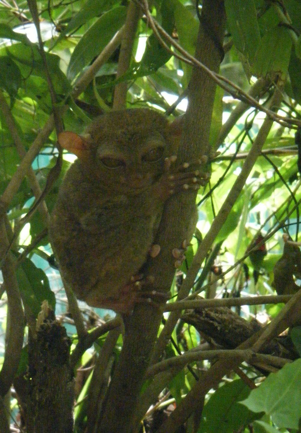 creepy tarsier.jpg