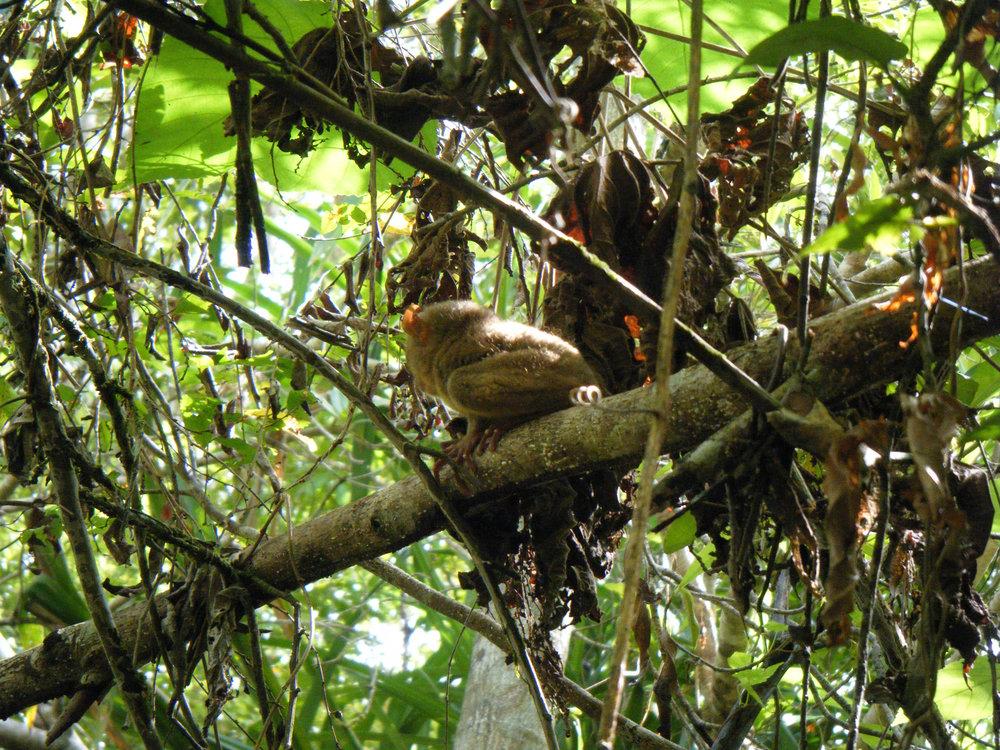good tarsier shot.jpg