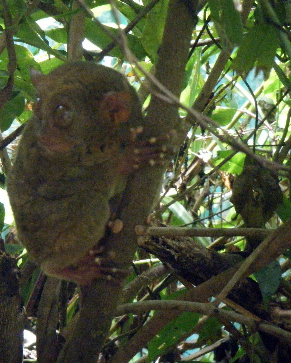 tarsier 2-13-13.jpg
