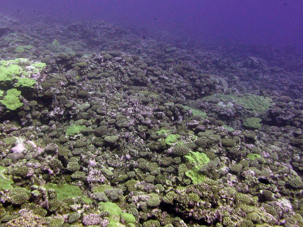 corals at Palmerston.jpg