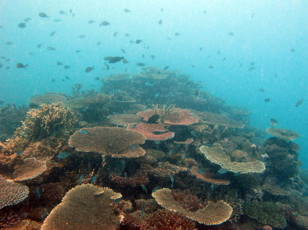 acropora meadow.jpg