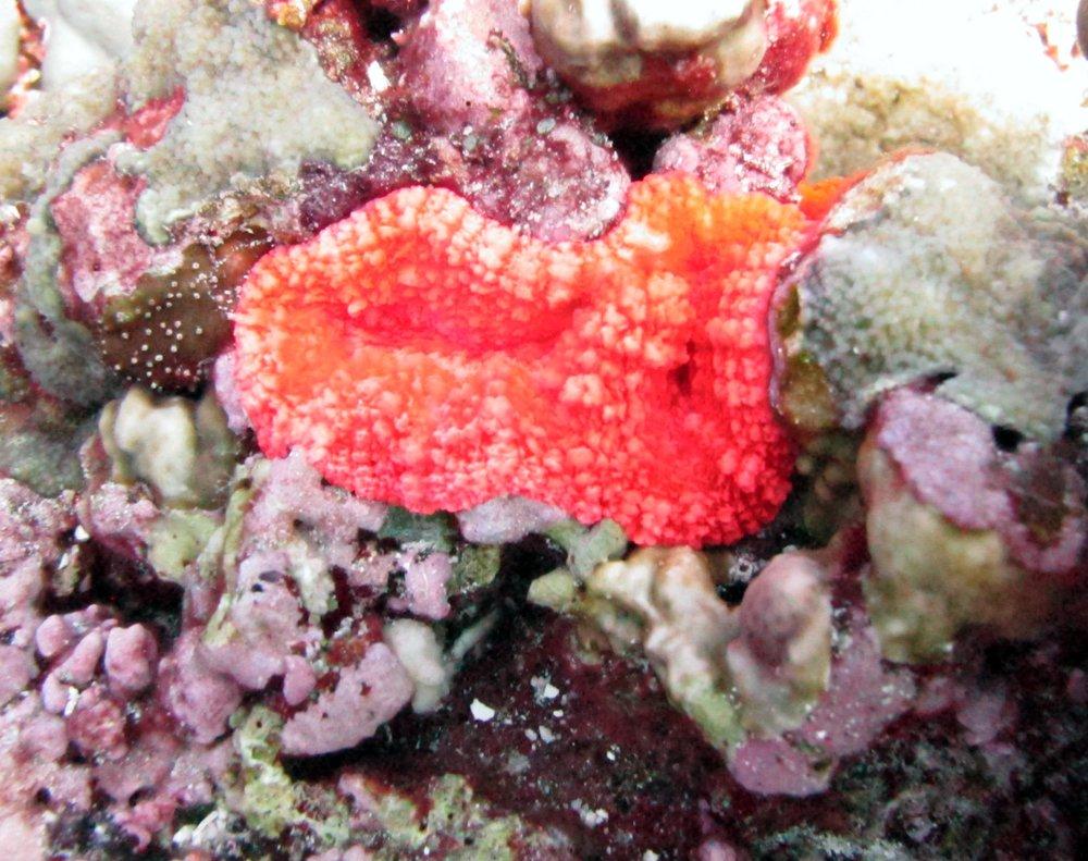 red fluorescent mussid.jpg