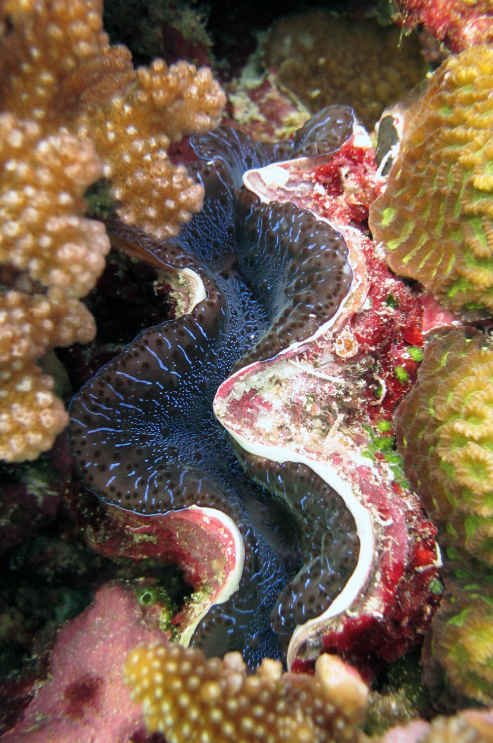 great giant clam shot.jpg