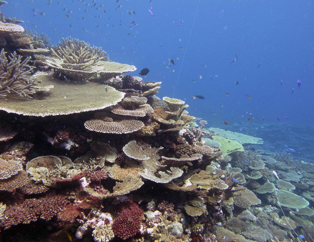 coral bommie at FJCC45.jpg