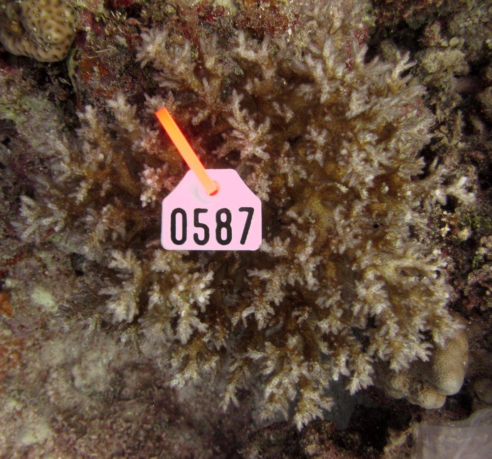 colony 135
