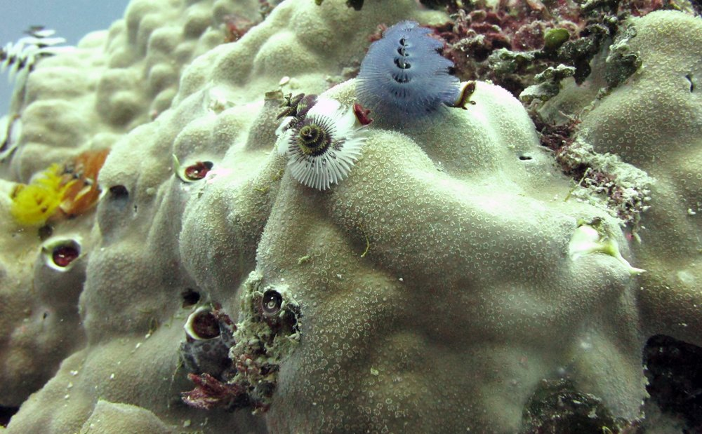 Christmas tree worms on Porites.jpg