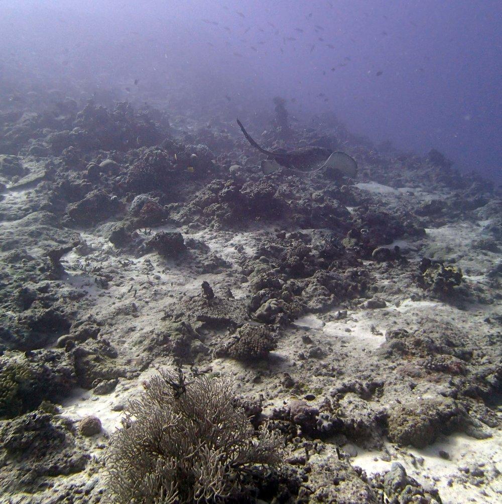 swimming black botched stingray.JPG