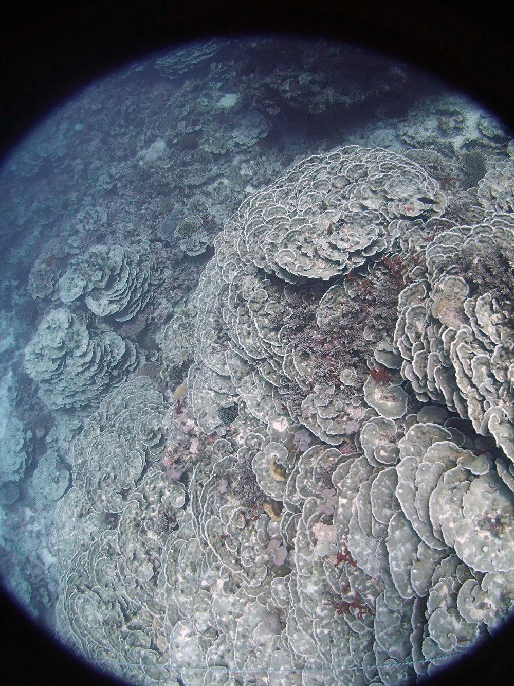 plating coral in deep waters.JPG
